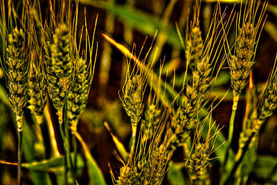 Ripening Wheat Art Print by David Patterson