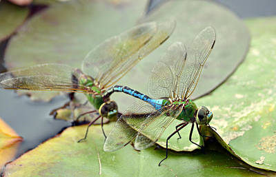 Dragonflies Mating Photograph - Rite Of Passage by Fraida Gutovich