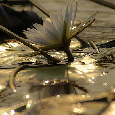 Photograph - River Lily by Alistair Lyne