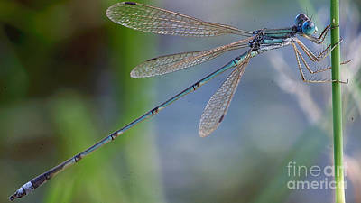 Photograph - Riverjack Damselfly by Mareko Marciniak