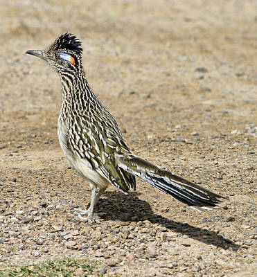 Photograph - Roadrunner Displaying Crest by Gregory Scott