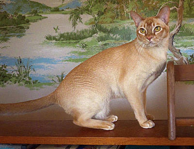 Photograph - Roary The Red Burmese by Odille Esmonde-Morgan
