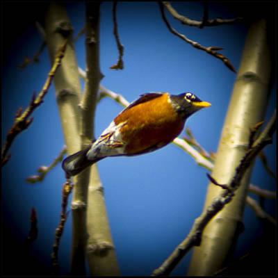 Robin Photograph - Robin Dives Into A Budding Spring by LeeAnn McLaneGoetz McLaneGoetzStudioLLCcom