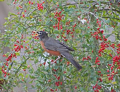 Photograph - Robin Eating Yaupon Holly Berries by Jeanne Kay Juhos