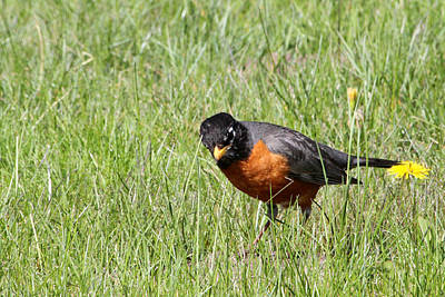 Photograph - Robin Hunting Worms by Mark J Seefeldt