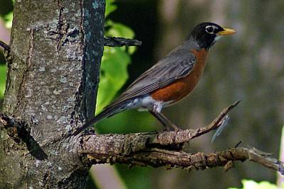 Photograph - Robin I by Joe Faherty