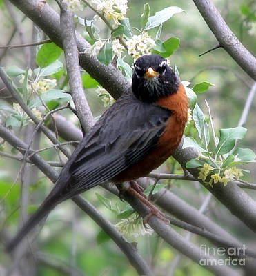 Photograph - Robin In The Morning by Lani PVG   Richmond