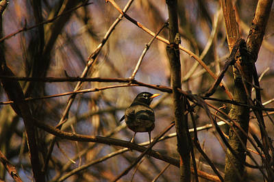 Photograph - Robin Red Breast In The Thickets by Rafael Figueroa
