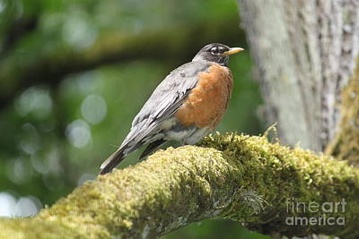 Photograph - Robin Red Breast by Terri Thompson