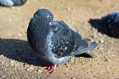 Rock Pigeon Art Print