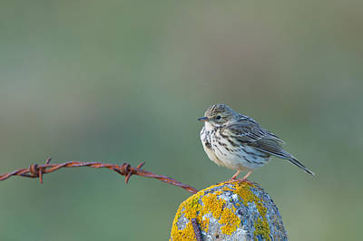 Of Lichens Photograph - Rock Pipit, Anthus Petrosus, On Fence Post, Uist by Mike Powles