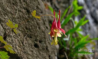 Photograph - Rock Steady Columbine by Julie Clements