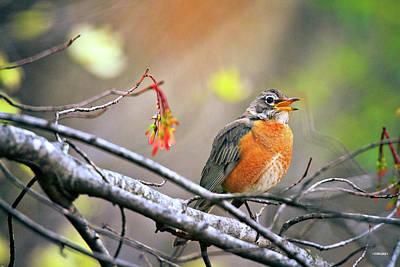 Photograph - Rockin Robin by Steven Llorca