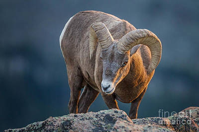 Photograph - Rocky Mountain Big Horn Ram by Ronald Lutz