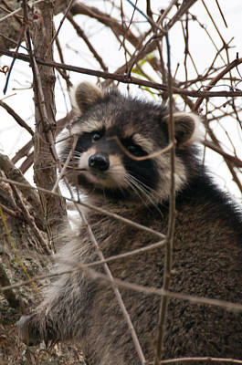 Photograph - Rocky Raccoon by Guy Whiteley
