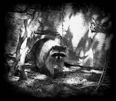 Photograph - Rocky Raccoon by Marilyn Wilson