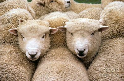 Photograph - Romney Sheep by Gregory G Dimijian and Photo Researchers