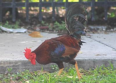 Photograph - Rooster At Key West by Jeanne Kay Juhos