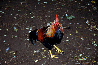 Drake Photograph - Rooster Strut by LeeAnn McLaneGoetz McLaneGoetzStudioLLCcom