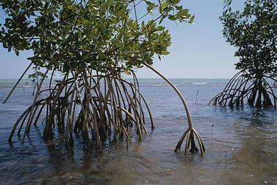 Root Legs Of Red Mangroves Extend Art Print by Medford Taylor