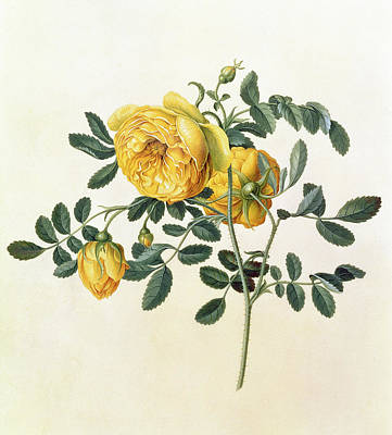 Crt Wall Art - Painting - Rosa Hemispherica by Georg Dionysius Ehret