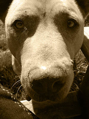 Roscoe Pitbull Eyes Print by Kym Backland