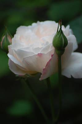 Rose - White Art Print by Dickon Thompson