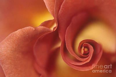 Rose 2 Art Print by Anne Gordon
