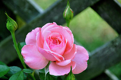 Art Print featuring the photograph Rose And Fence by Helen Haw