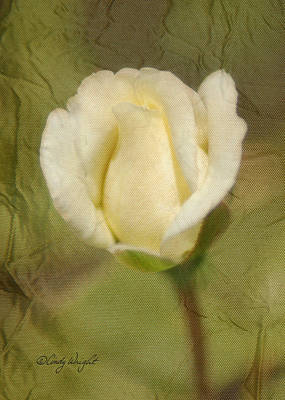 Photograph - Rose And Satin by Cindy Wright