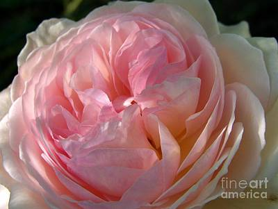 Rose Anglaise Art Print by Sylvie Leandre