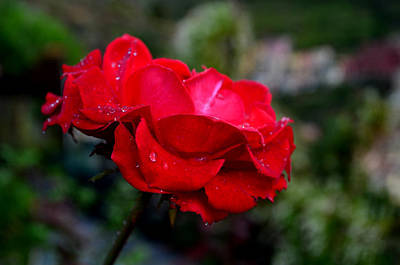 Photograph - Rose by Barbara Walsh
