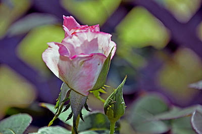 Photograph - Rose Bloom by Helen Haw