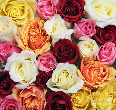 Roses Royalty-Free and Rights-Managed Images - Rose blossoms by Elena Elisseeva