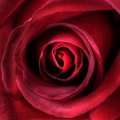 Y120831 Photograph - Rose by Brian Boudreau Photography