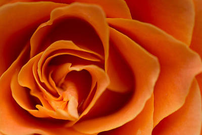 Photograph - Rose by Daniel Kulinski