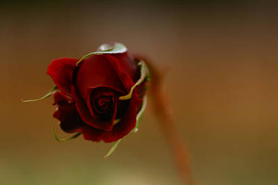 Photograph - Rose Dream by Gabriel Calahorra