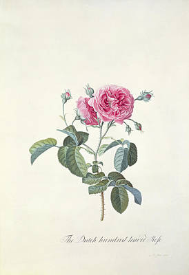 Rose Branch Painting - Rose Dutch Hundred Leaved Rose by Georg Dionysius Ehret