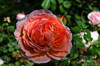 Yorba Photograph - Rose Garden-3 by Tommy Anderson