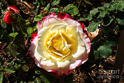 Yorba Photograph - Rose Garden-4 by Tommy Anderson