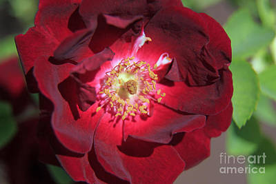 Photograph - Rose Glow by Shawn Naranjo
