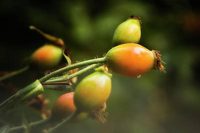 Photograph - Rose Hips by Albert Seger
