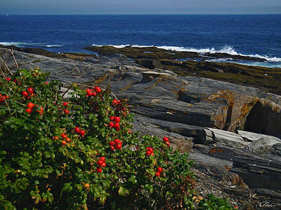 - Rose Hips At Two Lights Cape Elizabeth Maine by Nancy Griswold