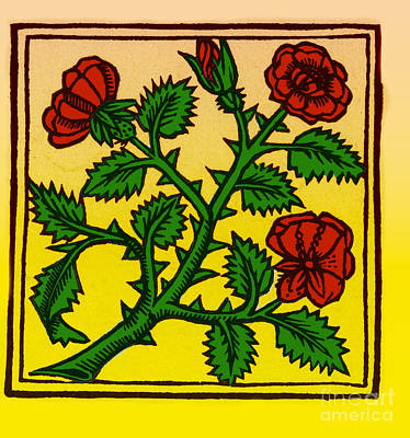 Photograph - Rose Illustration From Macers Viribus by Science Source
