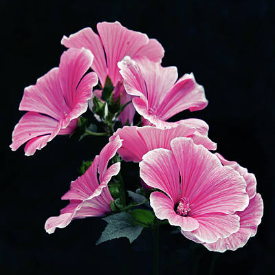 Rose Mallow Art Print by Tanjica Perovic Photography