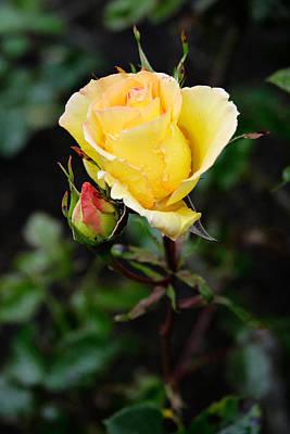 Photograph - Yellow Rose by Masha Batkova