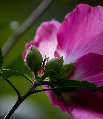 Photograph - Rose Of Sharon by Michael Friedman