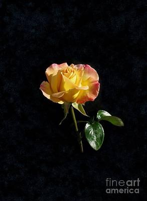 Rose On Black Original