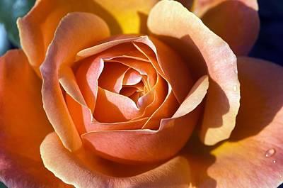 Floribunda Photograph - Rose (rosa 'fellowship') by Georgette Douwma