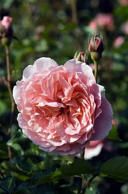Floribunda Photograph - Rose (rosa 'l'aimant') by Georgette Douwma
